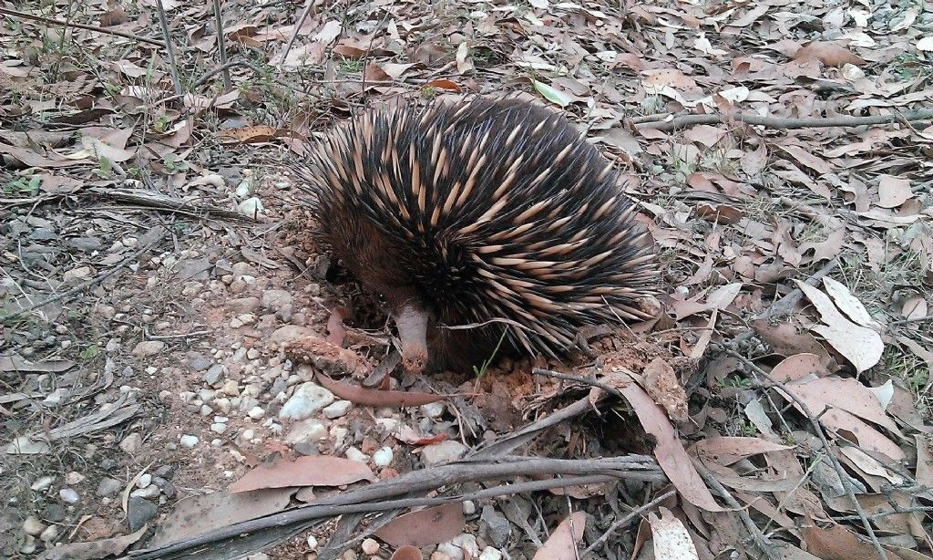 Echidna Spotters Wanted: Do You Have What It Takes to be a Citizen Scientist?